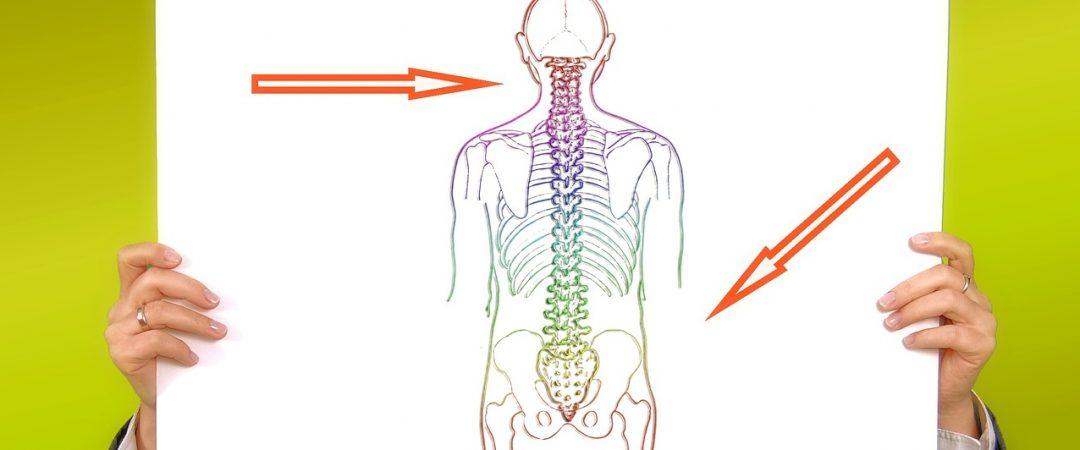 Human Spine w:arrows