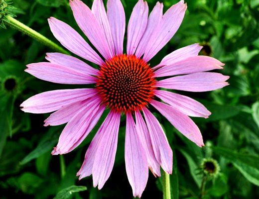 echinacea-flower-herbs